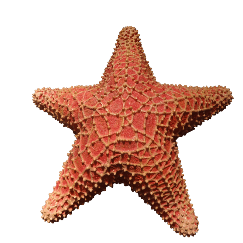Cushion Starfish (2)