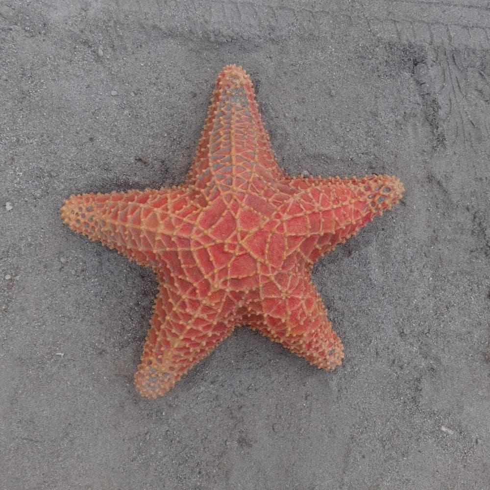 פסל של כוכב ים אדום